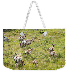Weekender Tote Bag featuring the photograph Pronghorn Antelope In Lamar Valley by Belinda Greb