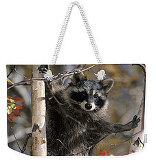 Racoon In Tree Weekender Tote Bag by Chris Scroggins