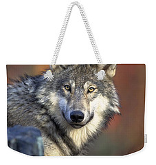 Weekender Tote Bag featuring the photograph Wolf Predator Canidae Canis Lupus Hunter by Paul Fearn