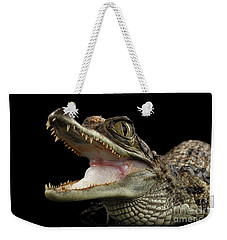 Closeup Young Cayman Crocodile, Reptile With Opened Mouth Isolated On Black Background Weekender Tote Bag