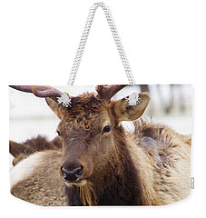 Weekender Tote Bag featuring the photograph Gaze From A Bull Elk by Jeff Swan