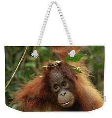 Orangutan Pongo Pygmaeus Baby, Camp Weekender Tote Bag by Thomas Marent