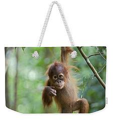 Sumatran Orangutan Pongo Abelii One Weekender Tote Bag by Suzi Eszterhas