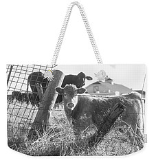 Weekender Tote Bag featuring the photograph Who Are You, Angus Cows Seem To Ask by Toni Hopper