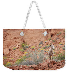 Weekender Tote Bag featuring the photograph Young Big Horn Sheep  by Patricia Davidson
