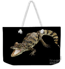 Young Cayman Crocodile, Reptile With Opened Mouth And Waved Tail Isolated On Black Background In Top Weekender Tote Bag