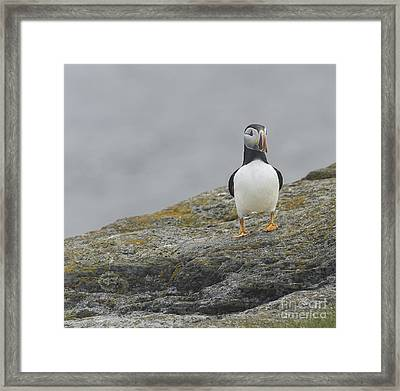 # 1 Puffin Framed Print by Jim  Hatch