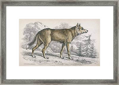 A Coyote (canis Latrans), Also Known Framed Print