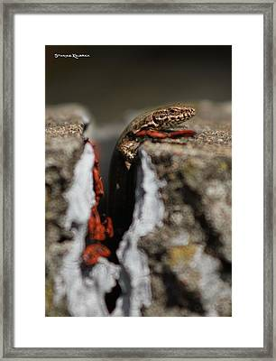 Framed Print featuring the photograph  A Lizard Emerging From Its Hole by Stwayne Keubrick