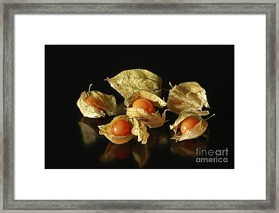 A Taste Of Columbia Physalis Aztec Golden Goose Berry  Framed Print by Inspired Nature Photography Fine Art Photography