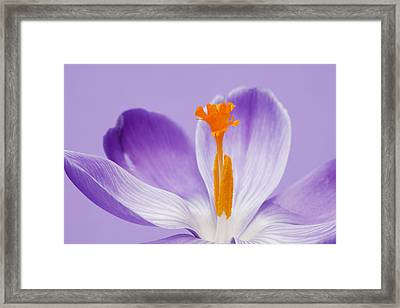 Abstract Purple Crocus Framed Print