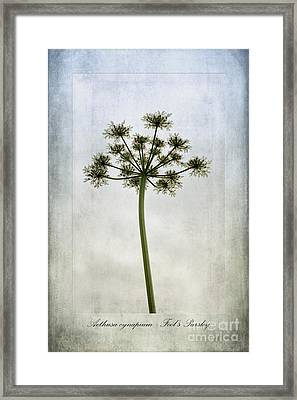 Aethusa Cynapium Framed Print by John Edwards