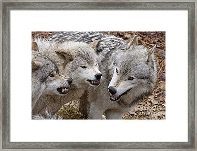Framed Print featuring the photograph  Alpha Displeasure 2 by Wolves Only