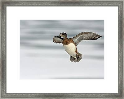 American Wigeon Framed Print by Jim Nelson