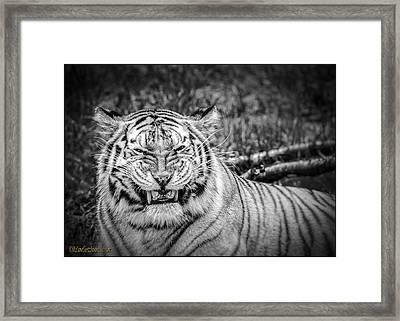 Amur Tiger Black And White Framed Print
