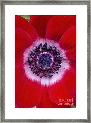 Anemone Coronaria Harmony Scarlet Flower Framed Print by Tim Gainey