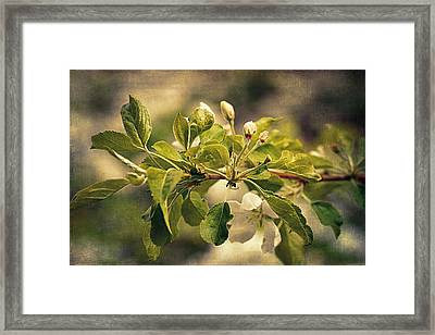 Apple Blossom Time Framed Print by Maria Angelica Maira