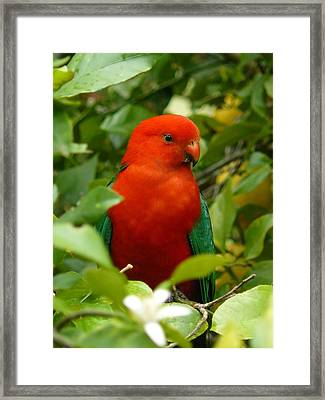Framed Print featuring the photograph  Aussie King Parrot by Margaret Stockdale