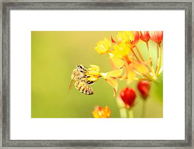 Bee On Milkweed Framed Print