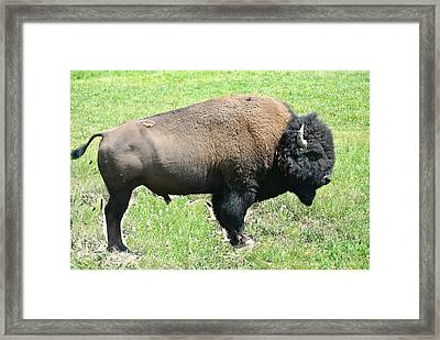 Bison Framed Print by Larry Stolle