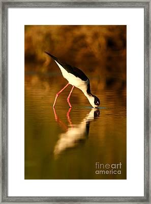 Framed Print featuring the photograph  Black-necked Stilt Reflection by John F Tsumas