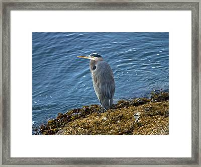 Framed Print featuring the photograph  Blue Heron On A Rock by Eti Reid