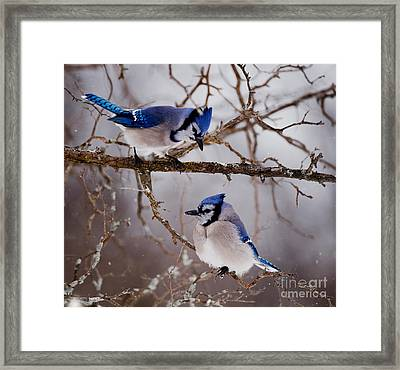 Blue Jay Pictures 61 Framed Print