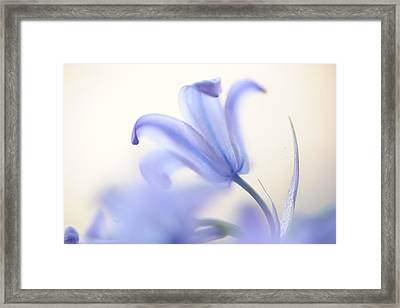 Blue Light. The Wild Hyacinth Framed Print by Jenny Rainbow