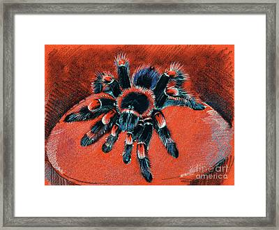 Brachypelma Smithi Redknee Tarantula  Framed Print
