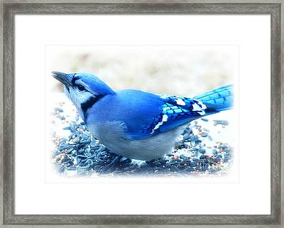 Bright Blue Jay  Framed Print