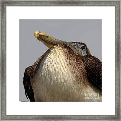 Framed Print featuring the photograph  Brown Pelican  by Bob and Jan Shriner