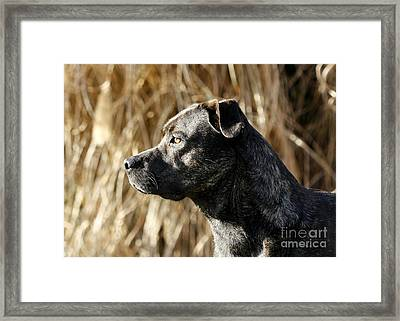 Bullmastiff Dog Watching The Sunrise Framed Print by Inspired Nature Photography Fine Art Photography