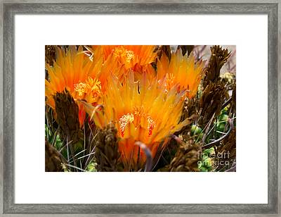 Candy Barrel Cactus Framed Print by Beverly Guilliams