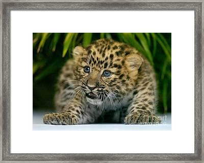 Cheetah Cub Im Gonna Getcha Framed Print