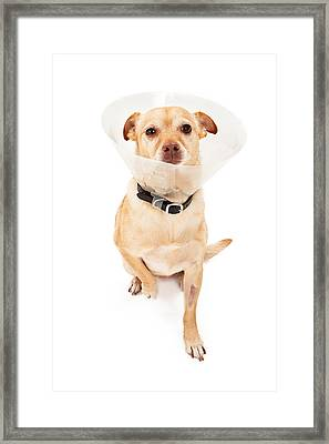 Chihuahua Mix Dog With Cone  Framed Print by Susan Schmitz