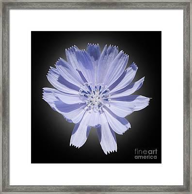 Cichorium Intybus Framed Print by Tony Cordoza