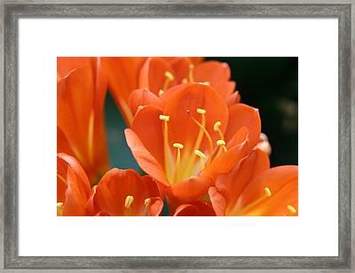 Clivia Framed Print by Karen Silvestri