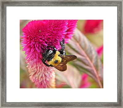 Cockscomb And Bumble Bee Framed Print