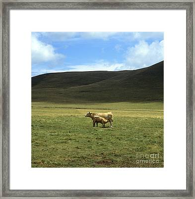 Cow And Calf. Aubrac . France. Framed Print