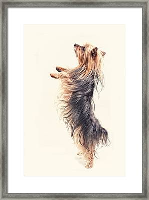 Dancing Yorkshire Terrier Framed Print by Susan Stone