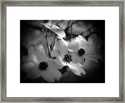 Dogwood Blossoms-bk-wh-v Framed Print