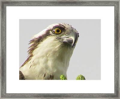Eye Of The Osprey Framed Print