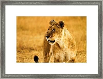 Female Lion Framed Print by Kongsak Sumano
