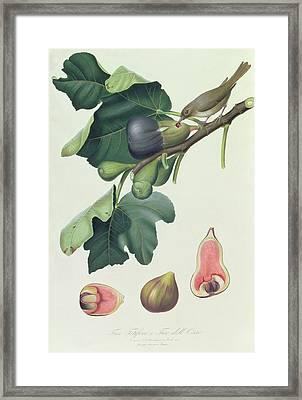 - Fico Fetifero And Fico Dell Osso Framed Print by Giorgio Gallesio