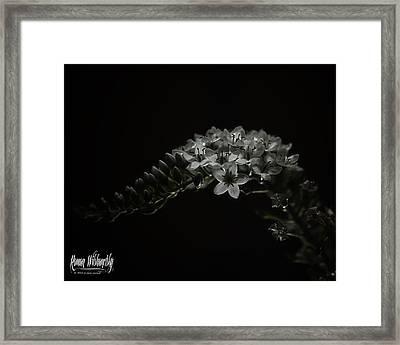Gooseneck Loosestrife Framed Print