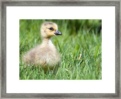 Gosling Framed Print by Optical Playground By MP Ray