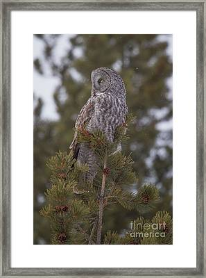 Framed Print featuring the photograph  Great Gray Owl 1 by Katie LaSalle-Lowery
