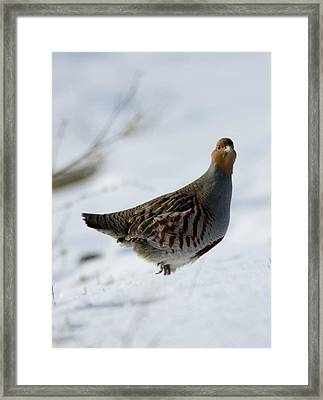 Grey Perdridge Framed Print