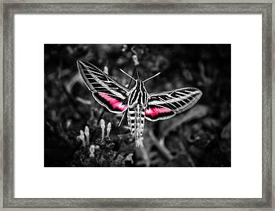Hummingbird Moth Bw Print Framed Print
