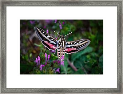 Hummingbird Moth Print Framed Print